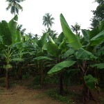 800px-Banana_Tree_from_Kerala_5001